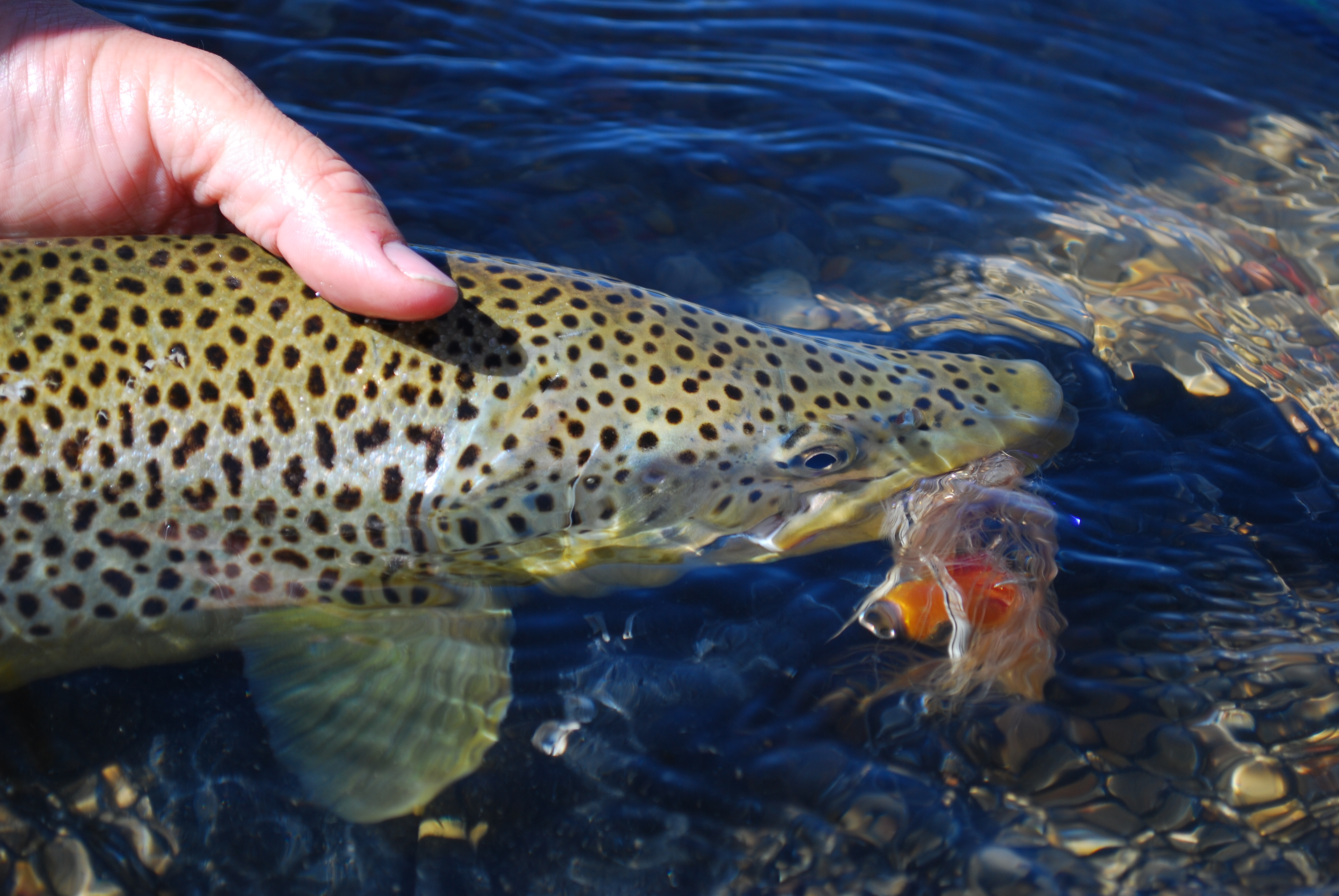 Brown trout 2010 089