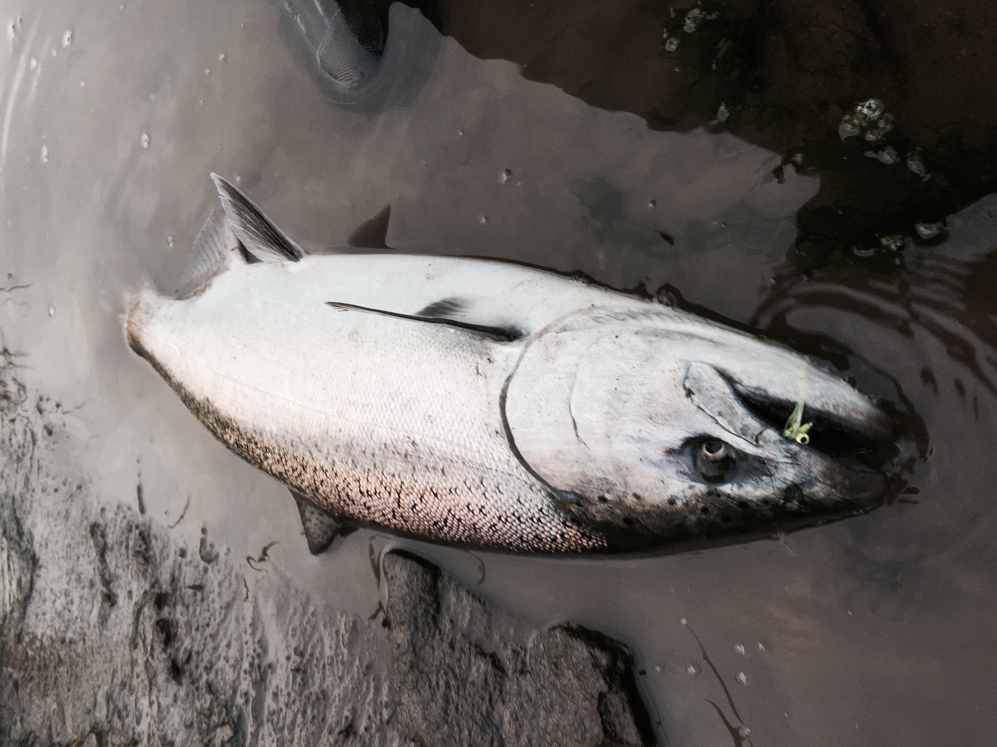 Chinook on Clouser